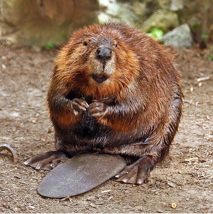 Beaver Removal Company