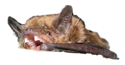 Bat with teeth