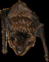 Illegal to Kill Bats in Michigan