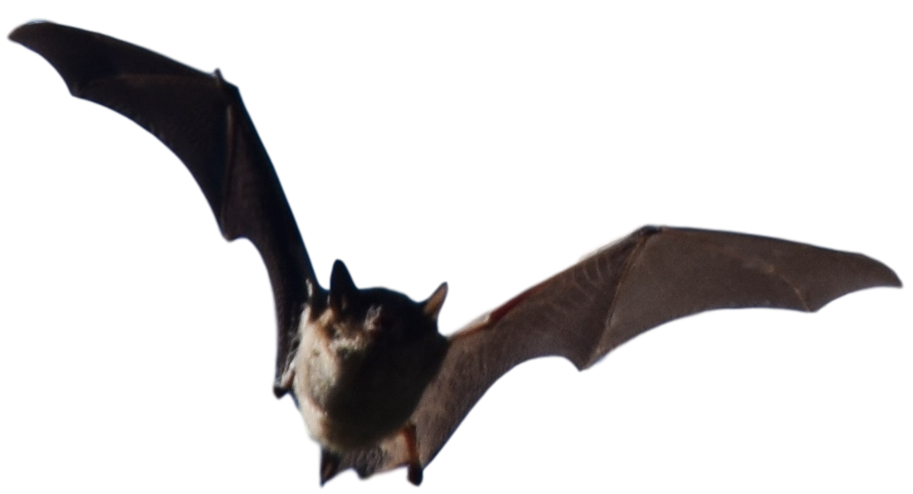 Bat Extermination Company