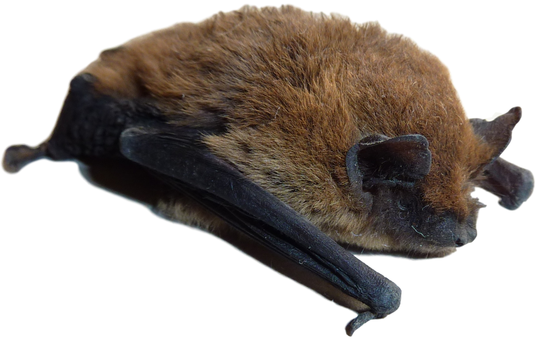 Michigan Bat Control Bat Pest Control Services