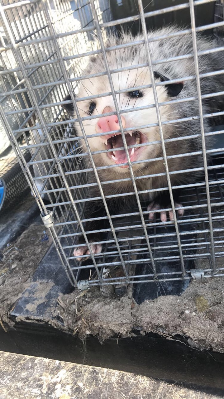 Michigan Wildlife Removal Opossum Trapping Services