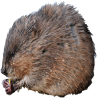 muskrat-removal-michigan