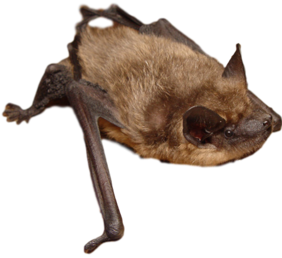 Bat Removal Scam Alert