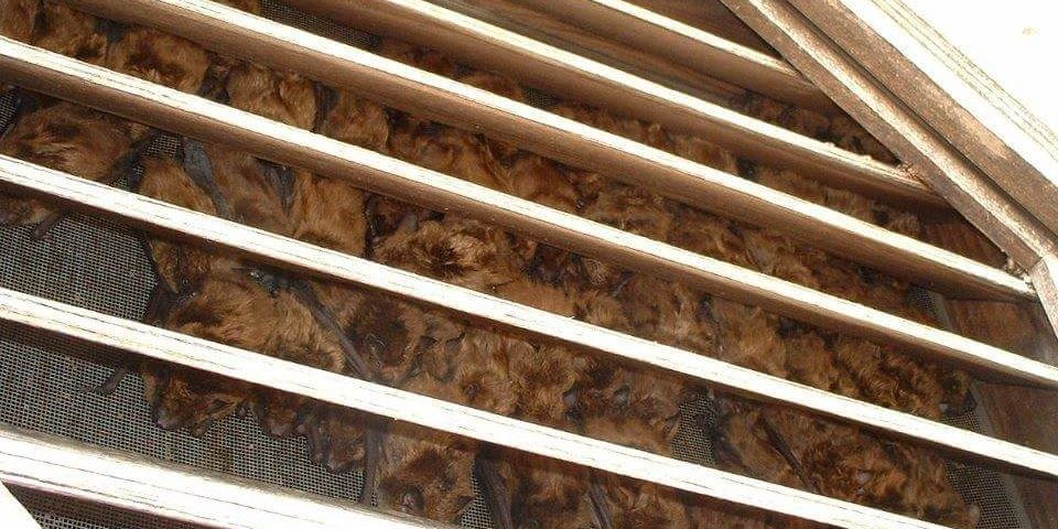 Bats entering through gable vent