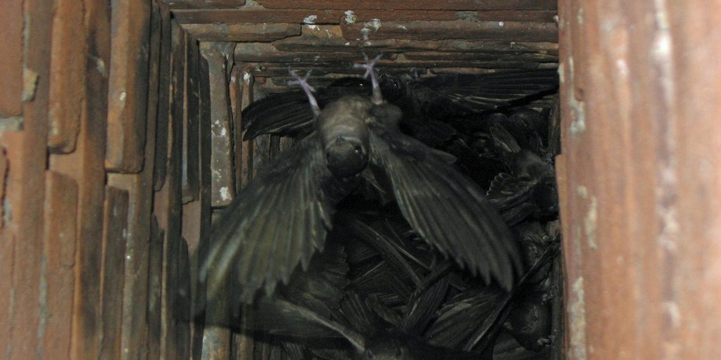 Chimney swifts living in the chimney
