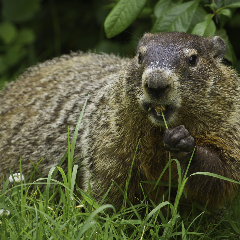 Michigan Groundhog Removal Company