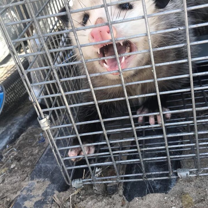 Opossum Removal Michigan